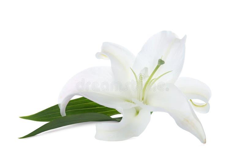 在白色背景的美丽的百合 库存图片