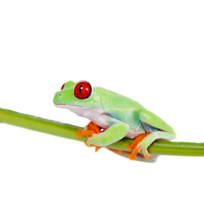 在白色背景的美丽的红眼睛的雨蛙 免版税图库摄影
