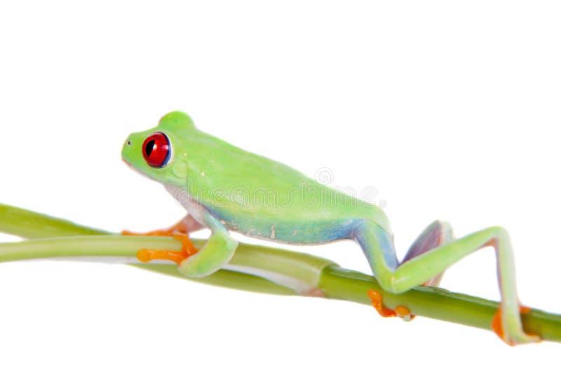 在白色背景的美丽的红眼睛的雨蛙 免版税库存照片