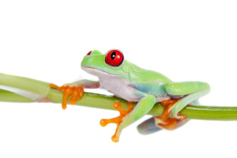 在白色背景的美丽的红眼睛的雨蛙 免版税库存图片
