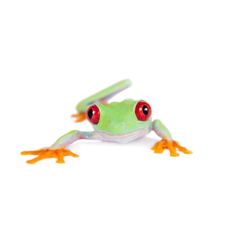 在白色背景的美丽的红眼睛的雨蛙 库存照片