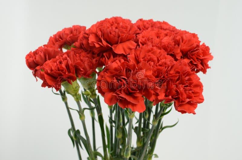在白色背景的美丽的红色康乃馨花 图库摄影