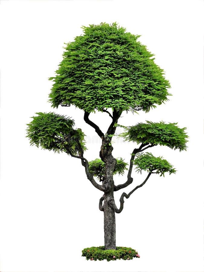 在白色背景的美丽的绿色树 免版税库存照片