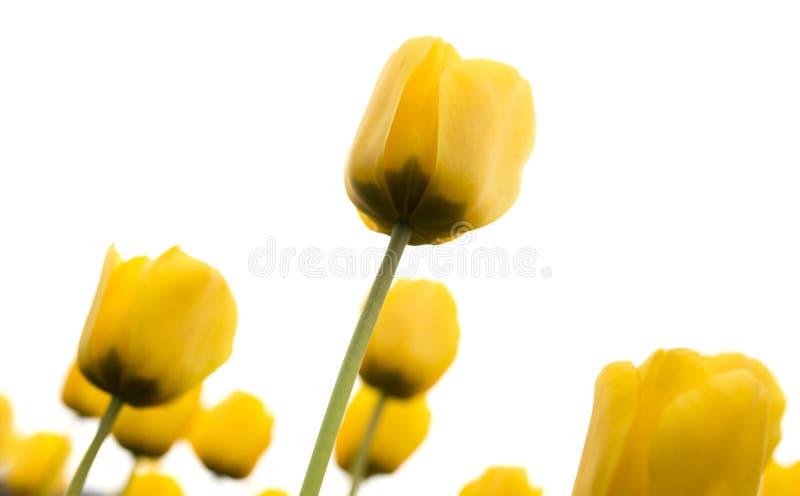 在白色背景的美丽的黄色郁金香 库存照片