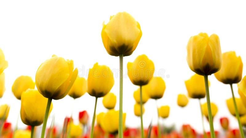 在白色背景的美丽的黄色郁金香 免版税图库摄影