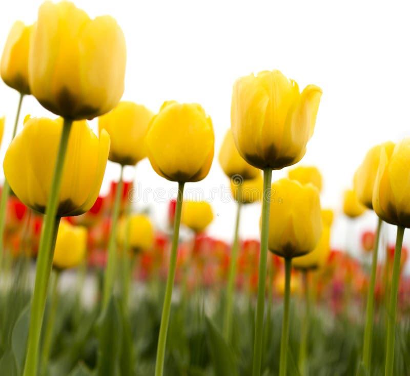 在白色背景的美丽的黄色郁金香 免版税库存图片