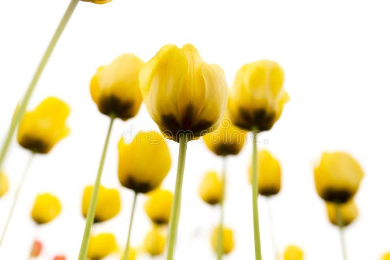 在白色背景的美丽的黄色郁金香 免版税库存照片