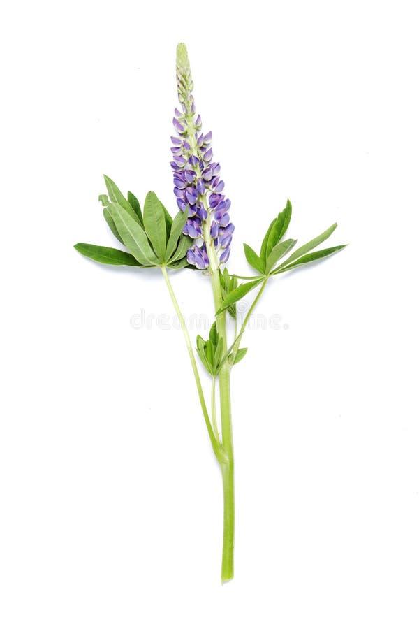 在白色背景的羽扇豆紫罗兰色花 免版税库存图片