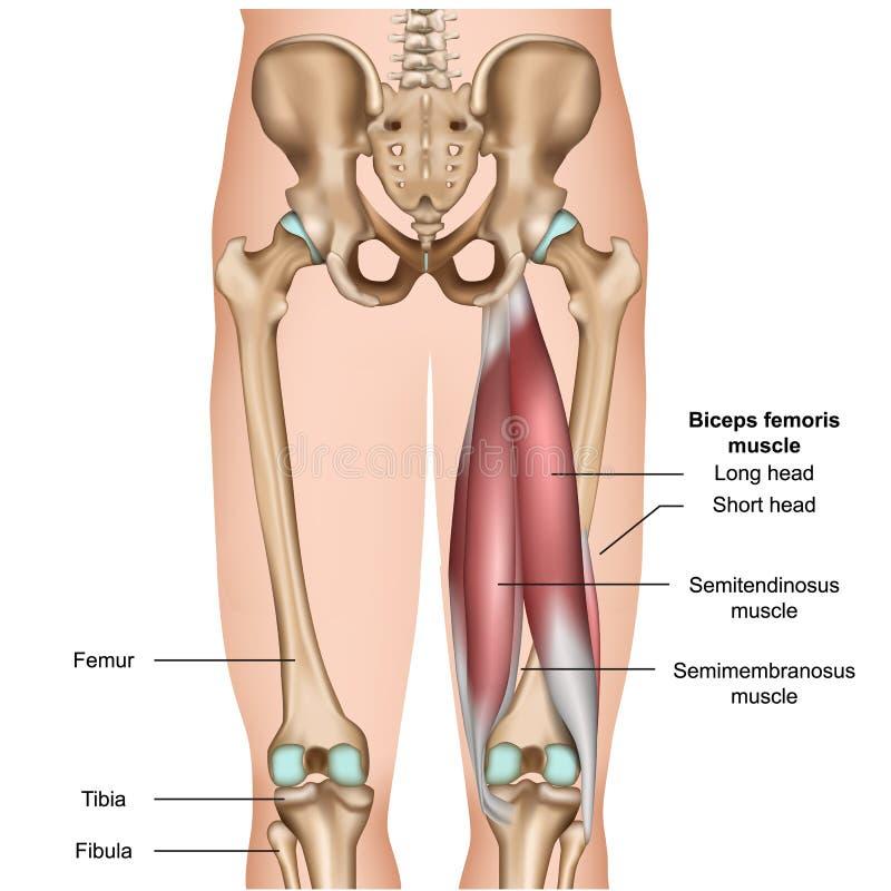 在白色背景的腿筋肌肉解剖学3d医疗例证 库存例证