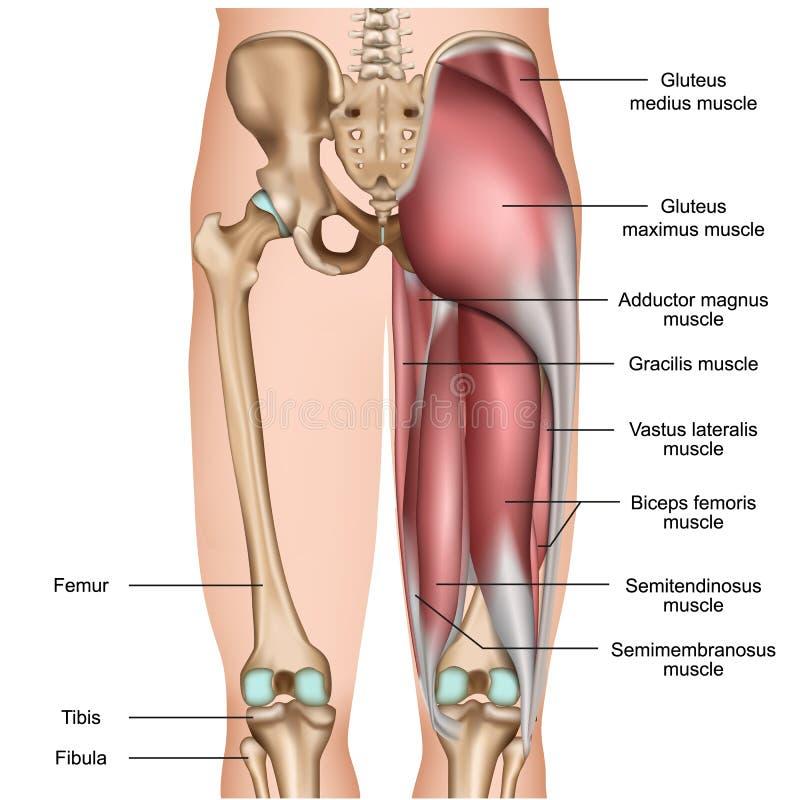 在白色背景的腿背部肌肉3d医疗例证 向量例证