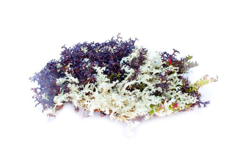 在白色背景的自然青苔装饰 库存照片