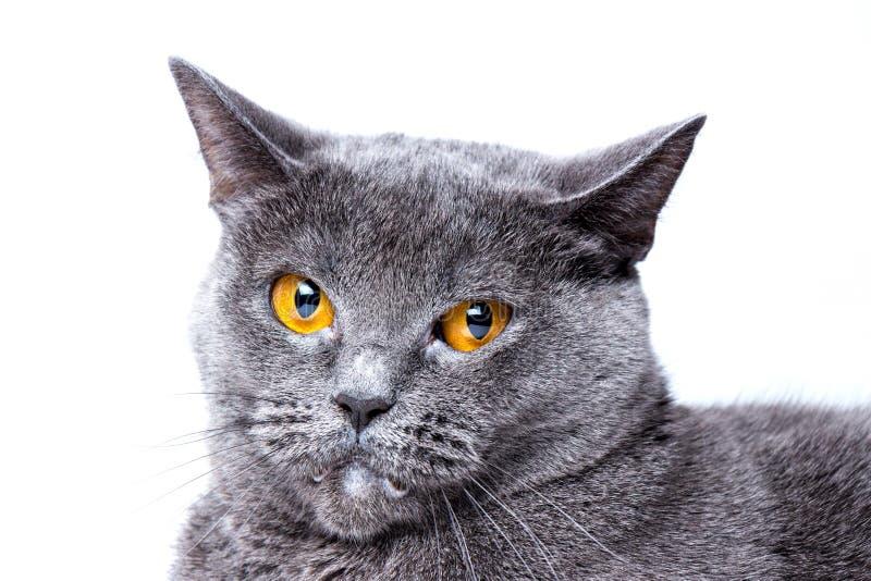 在白色背景的英国蓝色猫 特写镜头 库存照片