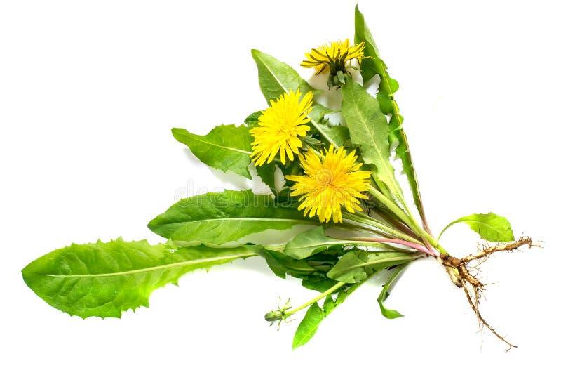 在白色背景的药用植物蒲公英 库存图片