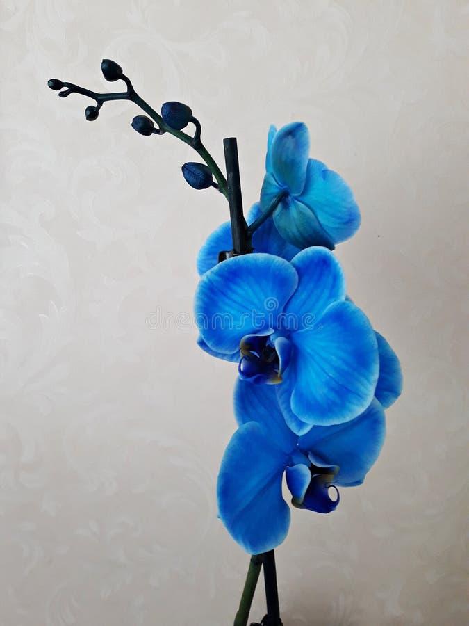 在白色背景的蓝色兰花植物兰花 免版税库存图片