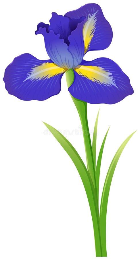 在白色背景的蓝色虹膜花 库存例证