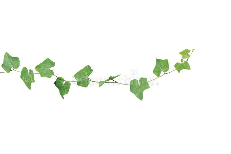 在白色背景的藤植物孤立 裁减路线 免版税图库摄影