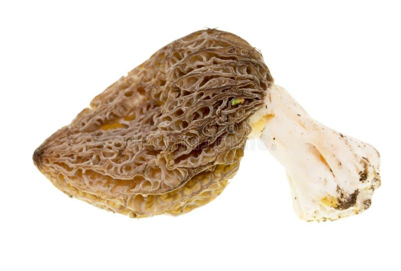 在白色背景的蘑菇羊肚菌 免版税库存照片