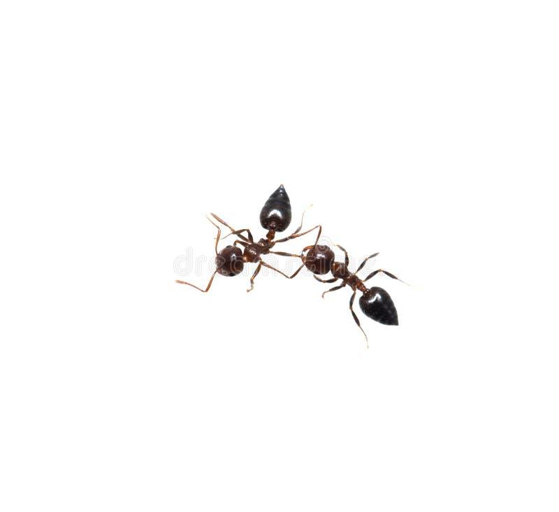 在白色背景的蚂蚁 宏指令 免版税库存照片
