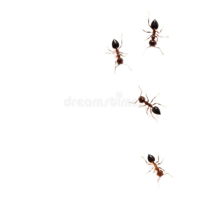 在白色背景的蚂蚁 宏指令 库存照片
