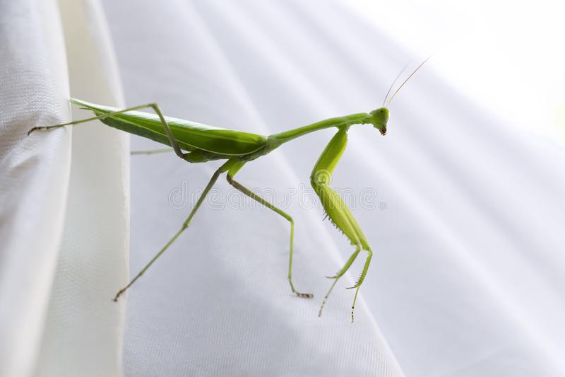 在白色背景的蚂蚱 一只巨型绿色螳螂的生活,这是掠食性昆虫种类居住草原 库存图片