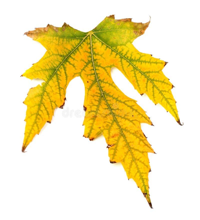 在白色背景的被染黄的秋天叶子 免版税库存图片