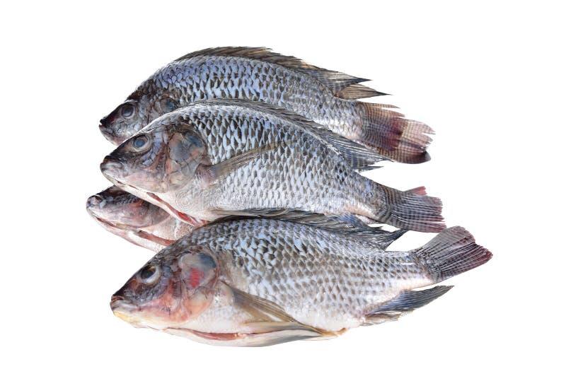 在白色背景的被毁坏的和被称的尼罗罗非鱼鱼 库存照片