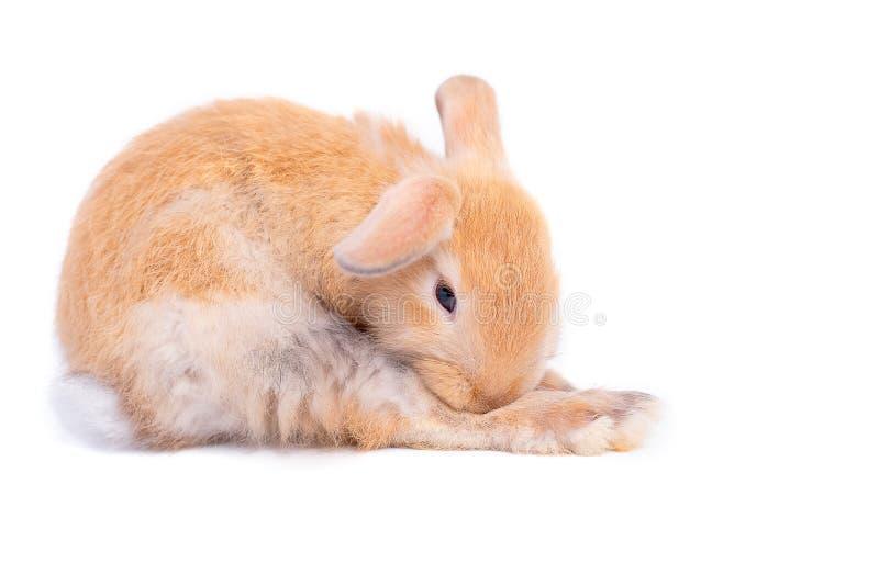 在白色背景的被隔绝的小的棕色可爱的兔子兔宝宝与一些行动 库存照片