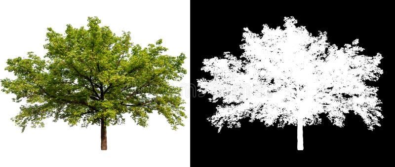 在白色背景的被隔绝的树 库存照片
