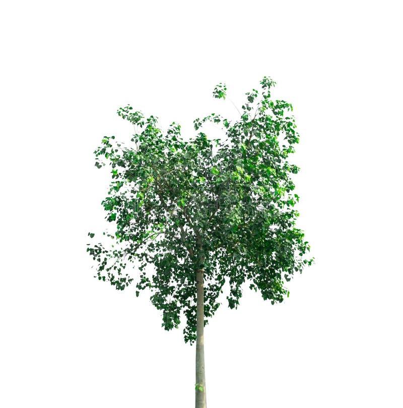 在白色背景的被隔绝的Bodhi树 库存图片