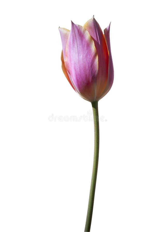 在白色背景的被隔绝的桃红色郁金香花 图库摄影