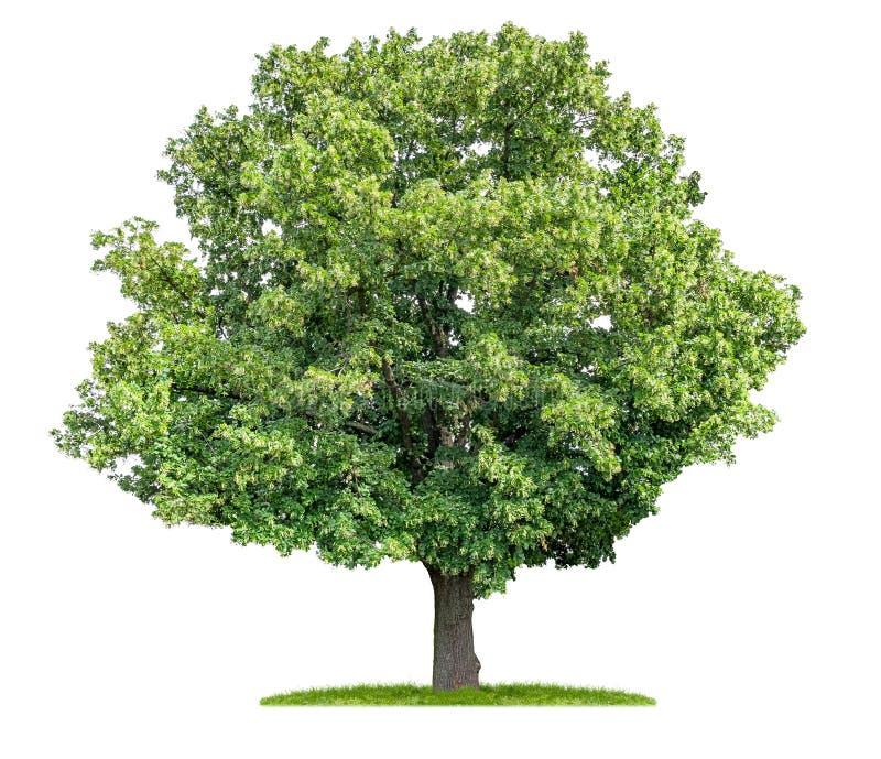 在白色背景的被隔绝的椴树 免版税库存照片