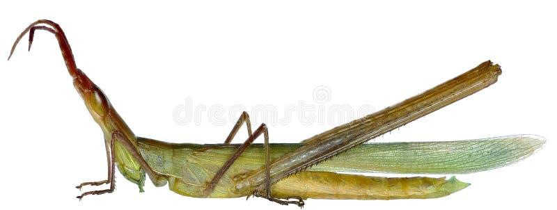 在白色背景的装管嘴的蚂蚱 库存图片