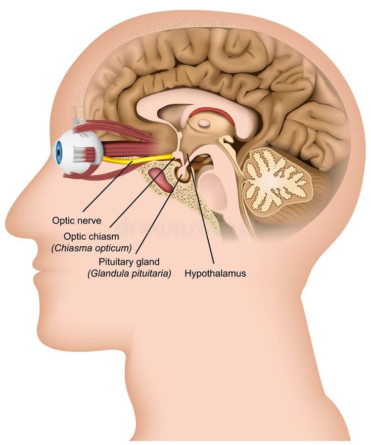 在白色背景的视觉神经解剖学3d医疗传染媒介例证 皇族释放例证