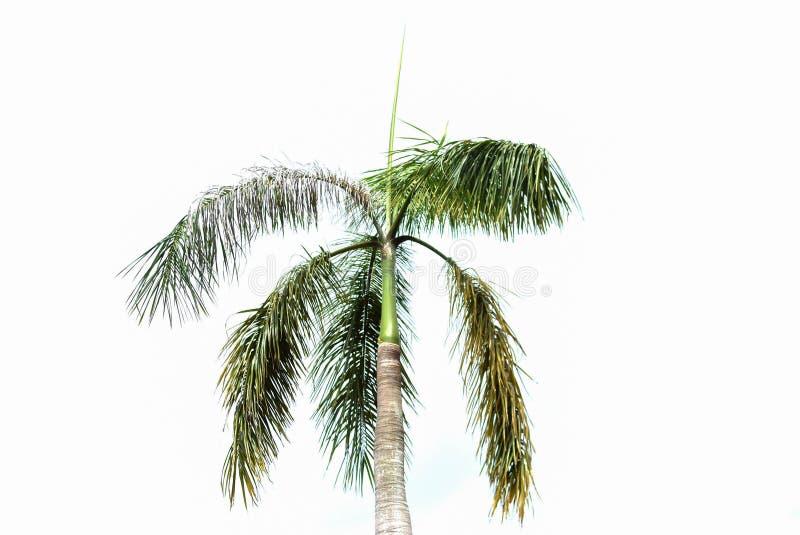 在白色背景的许多棕榈树 库存图片