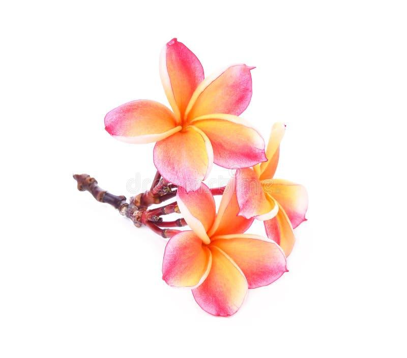在白色背景的赤素馨花花 库存图片