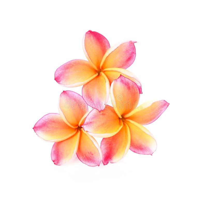 在白色背景的赤素馨花花 免版税库存图片
