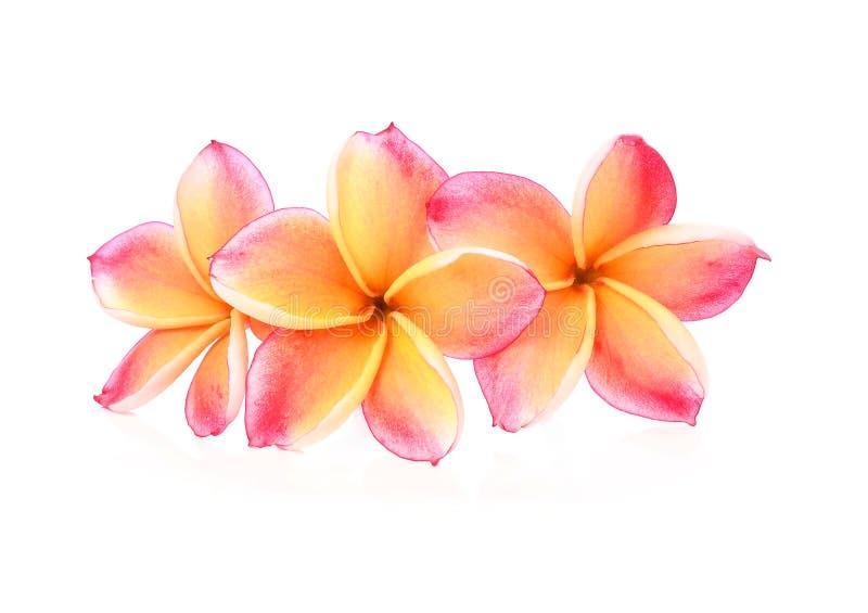 在白色背景的赤素馨花花 免版税图库摄影