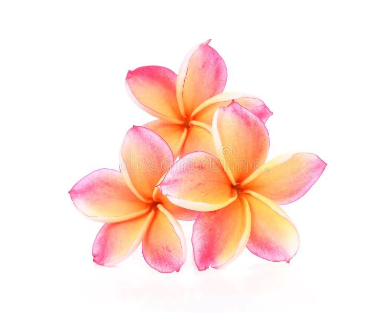 在白色背景的赤素馨花花 图库摄影