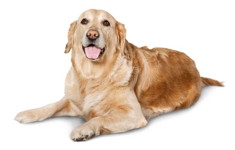 在白色背景的逗人喜爱的大拉布拉多狗 库存照片