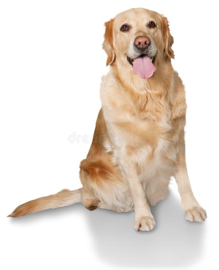 在白色背景的逗人喜爱的大拉布拉多狗 免版税库存图片