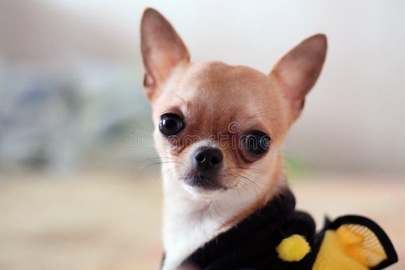 在白色背景的逗人喜爱的奇瓦瓦狗 库存图片
