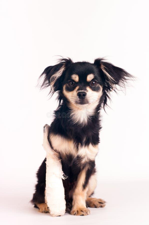 在白色背景的逗人喜爱的小犬座在演播室 库存图片