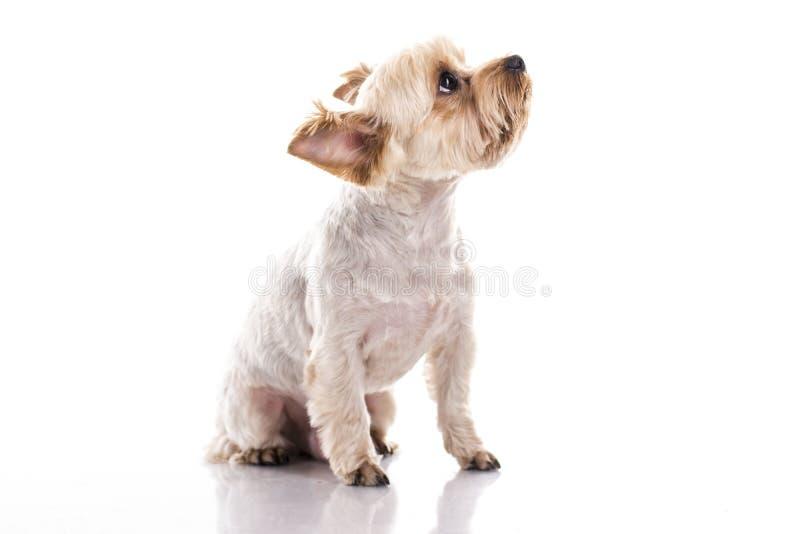 在白色背景的逗人喜爱的小犬座 库存图片