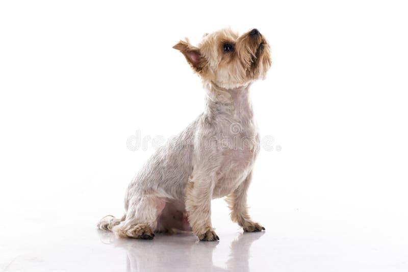 在白色背景的逗人喜爱的小犬座 免版税库存图片