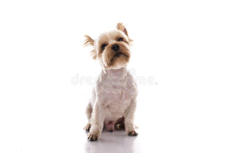 在白色背景的逗人喜爱的小犬座 库存照片