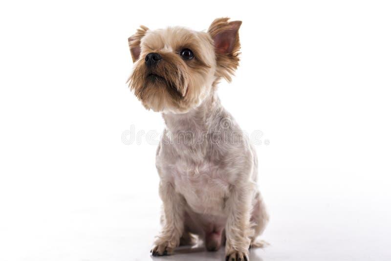 在白色背景的逗人喜爱的小犬座 免版税库存照片