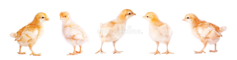 在白色背景的逗人喜爱的小的鸡 免版税库存照片
