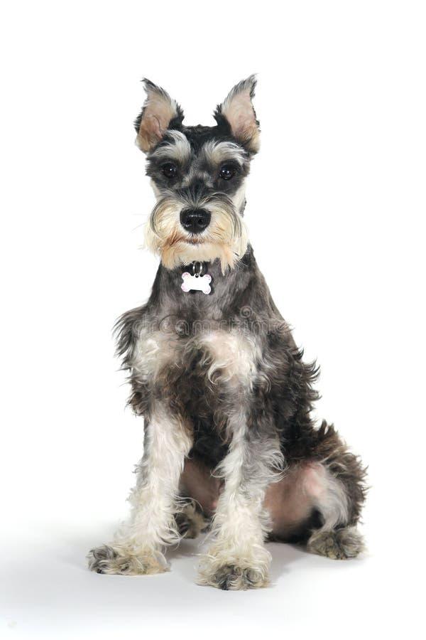 在白色背景的逗人喜爱的小髯狗小狗 免版税库存照片