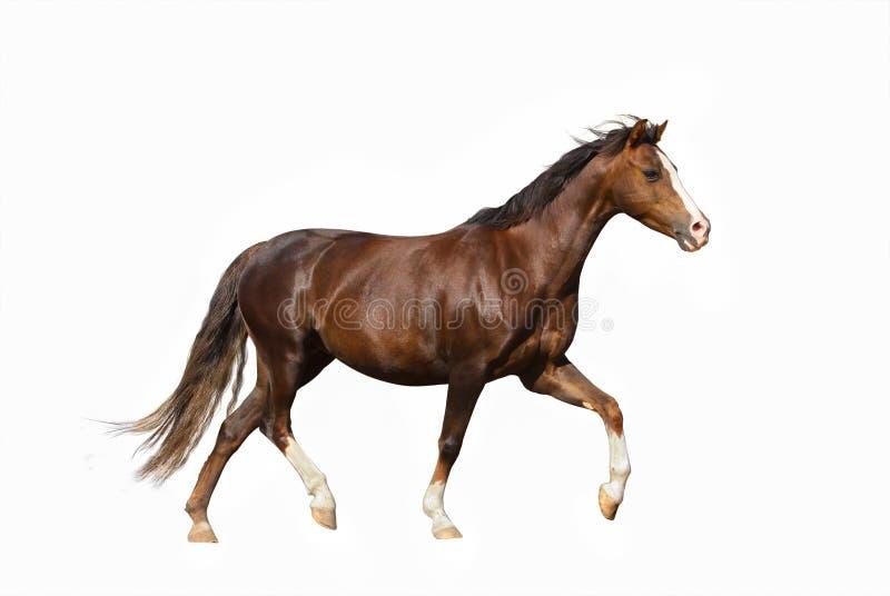 在白色背景的逗人喜爱的微型马 库存照片