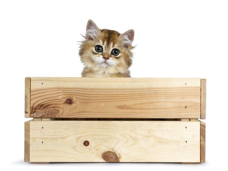 在白色背景的逗人喜爱的金黄英国长发猫小猫 免版税库存照片